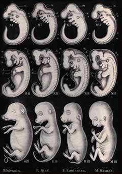 Evolusi Haeckel's Embryos